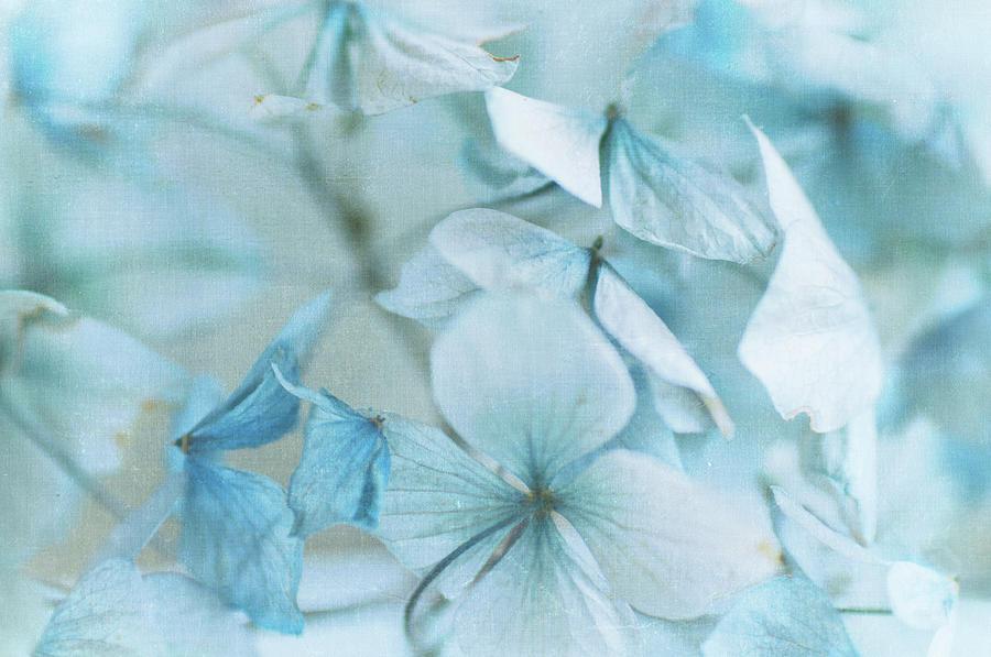 Hydrangea Flowers Photograph by Jill Ferry