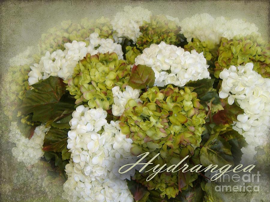 Hydrangea by Lee Owenby