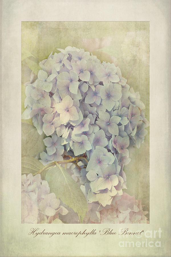 Hortensia Photograph - Hydrangea Macrophylla Blue Bonnet by John Edwards