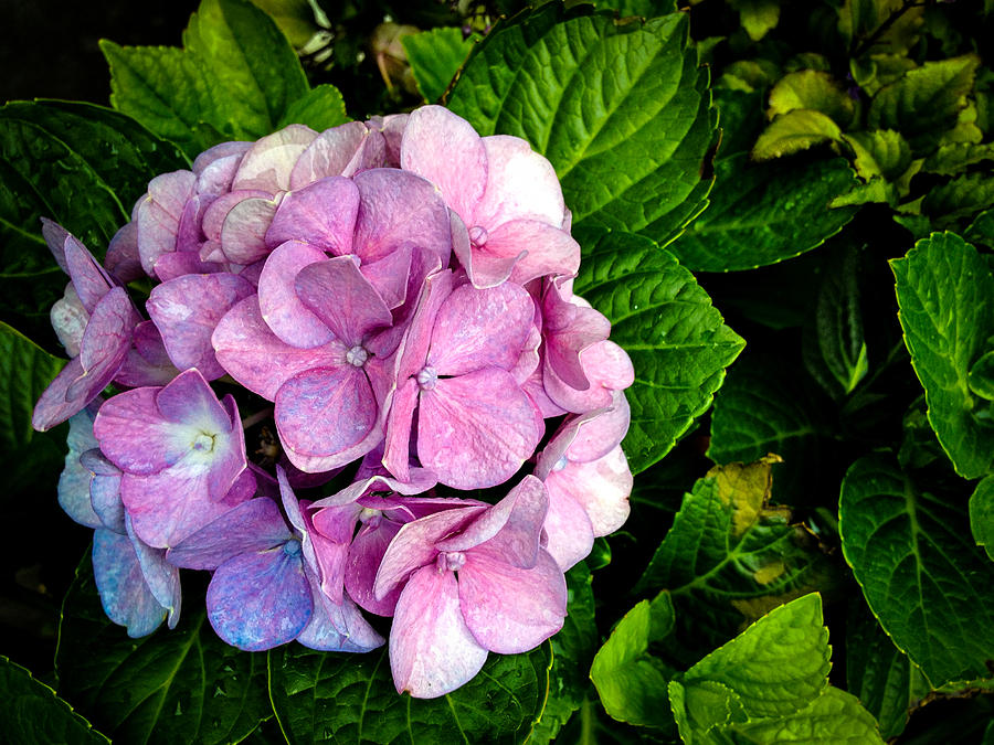 Hydrangea Photograph - Hydrangea Singapore Flower by Donald Chen