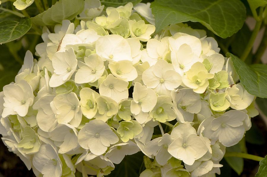 White Photograph - Hydrangea snowball by Science Photo Library
