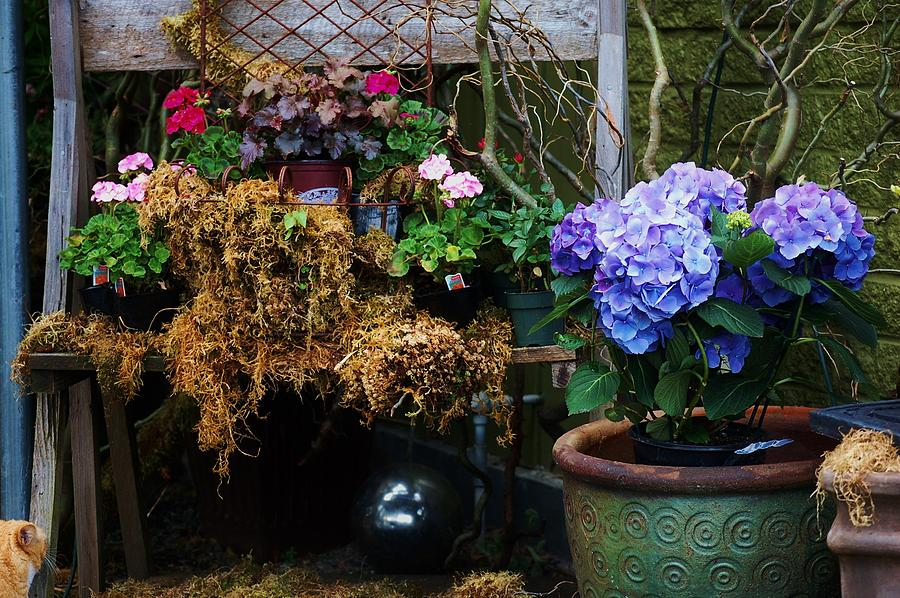 Blue Photograph - Hydrangeas by Helen Carson