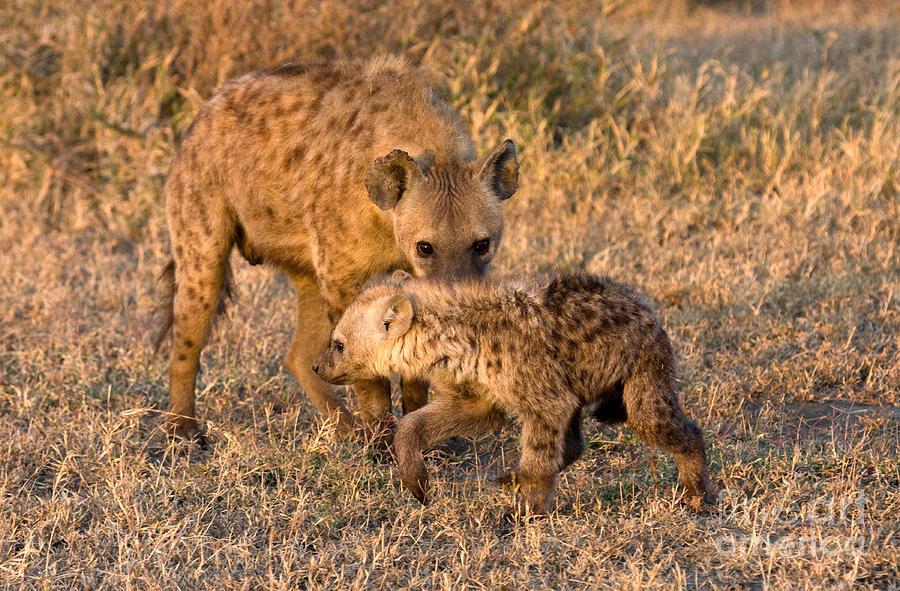 Hyena Photograph - Hyena Mother And Cub by Chris Scroggins