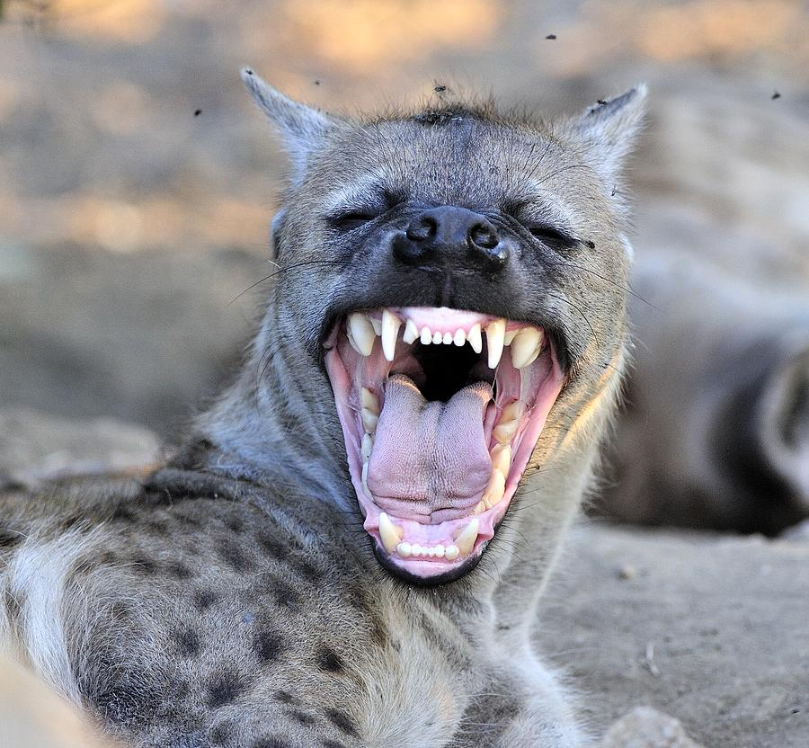 Hyena mother showing her teeth. Photograph by Wild Africa Nature
