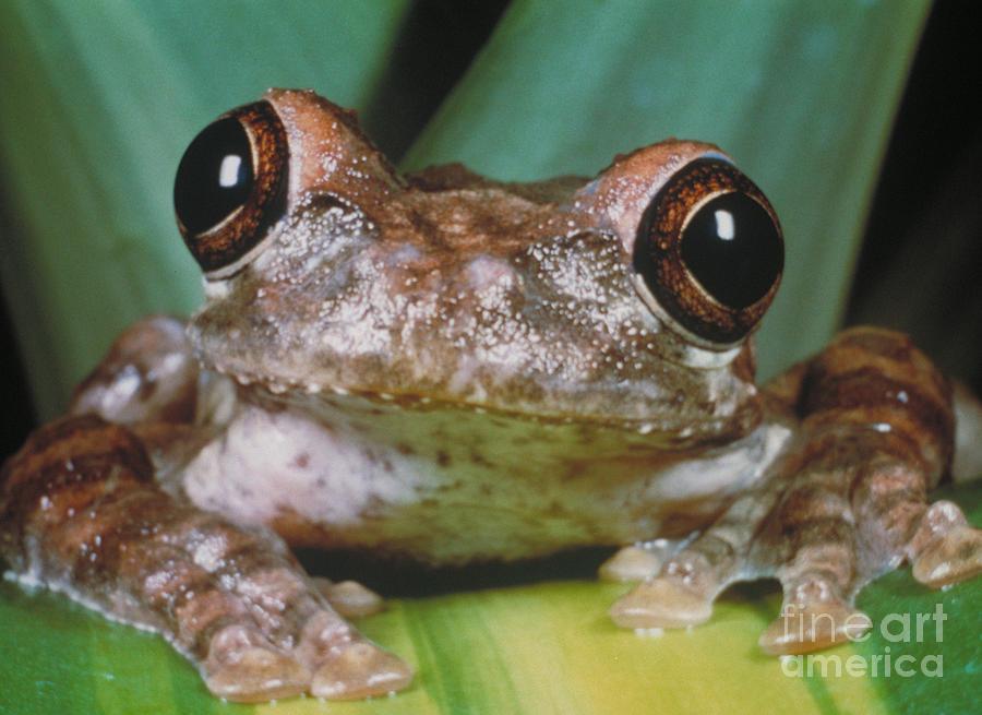 Haiti Photograph - Hyla Vasta Tree Frog by Jeff Lepore