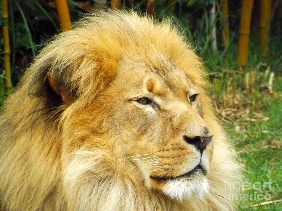Lion Photograph - I Am King by Clare Bevan