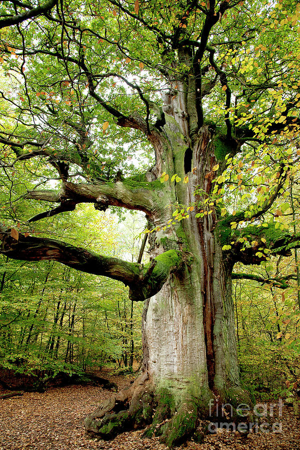 Oak Photograph - I Am Nearly 1000 Years Old by Heiko Koehrer-Wagner