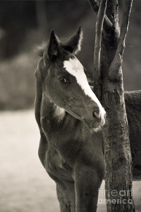 Foal Photograph - I Am So Innocent  by Angel Ciesniarska