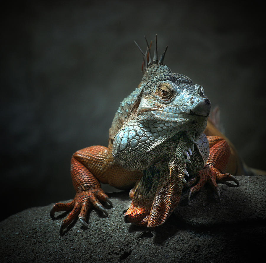 Animal Photograph - I Am The King ,.. Who Else ! by Holger Droste
