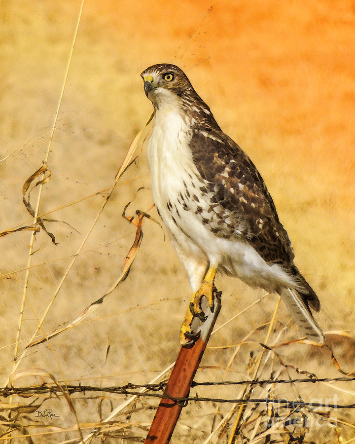 Red-tailed Hawk Photograph - I Can See Clearly by Betty LaRue