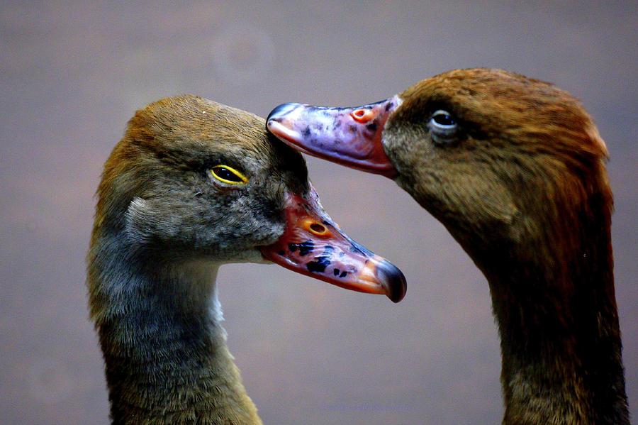 Copyright Derektxfactor_ducks_ Duck_brown_orange_black_yellow_gray_heads_ Head_two Photograph - I Crown You Ducklet by DerekTXFactor Creative