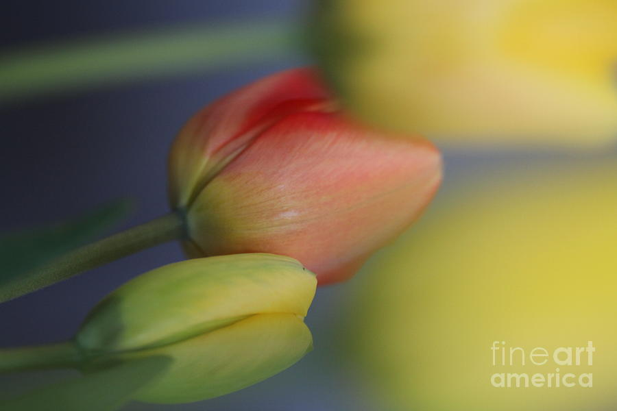 Tulips Photograph - I Do Love Tulips . by  Andrzej Goszcz