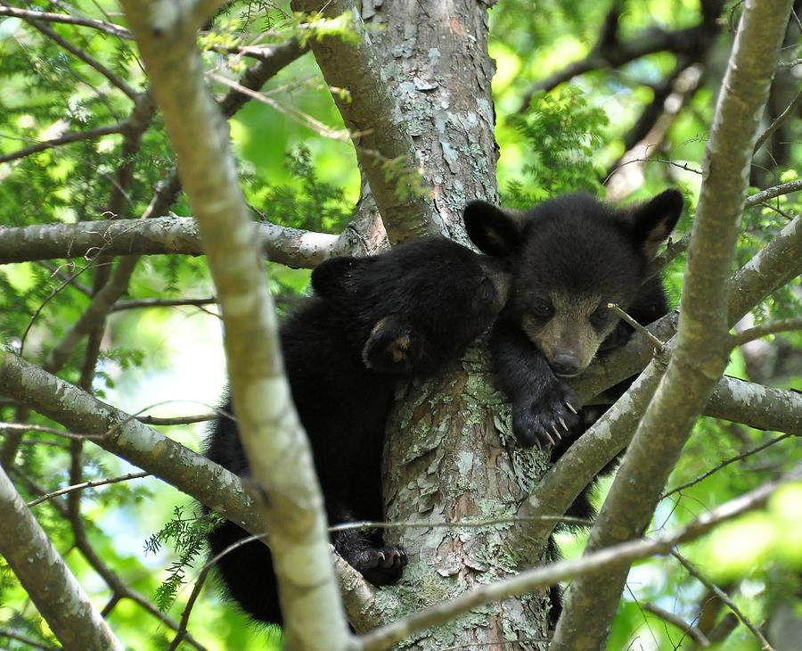 Black Bear Photograph - I Got A Secret by Todd Hostetter
