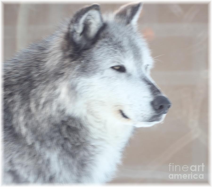 Wolves Photograph - I Got That by Brenda Henley