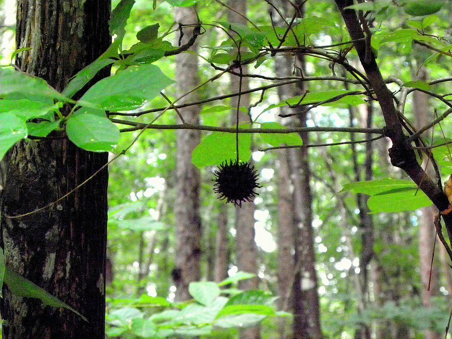Forest Photograph - I Hang Alone by Kim Galluzzo Wozniak
