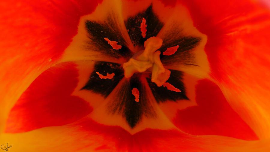 Nature Photograph - I Have A Dream... Into A Tulip. by Sascha Kolek
