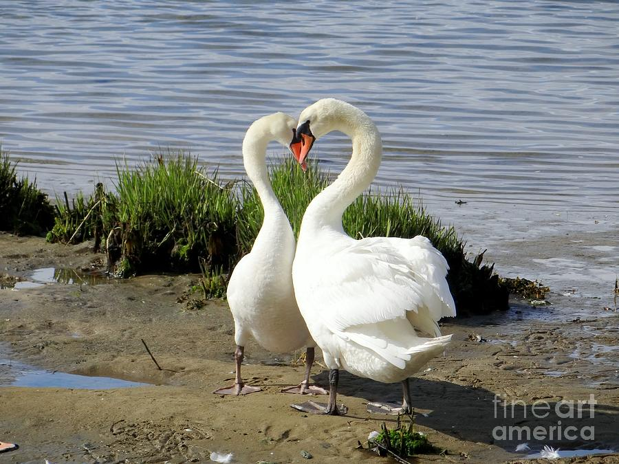 Swans Photograph - I Heart You by Ed Weidman