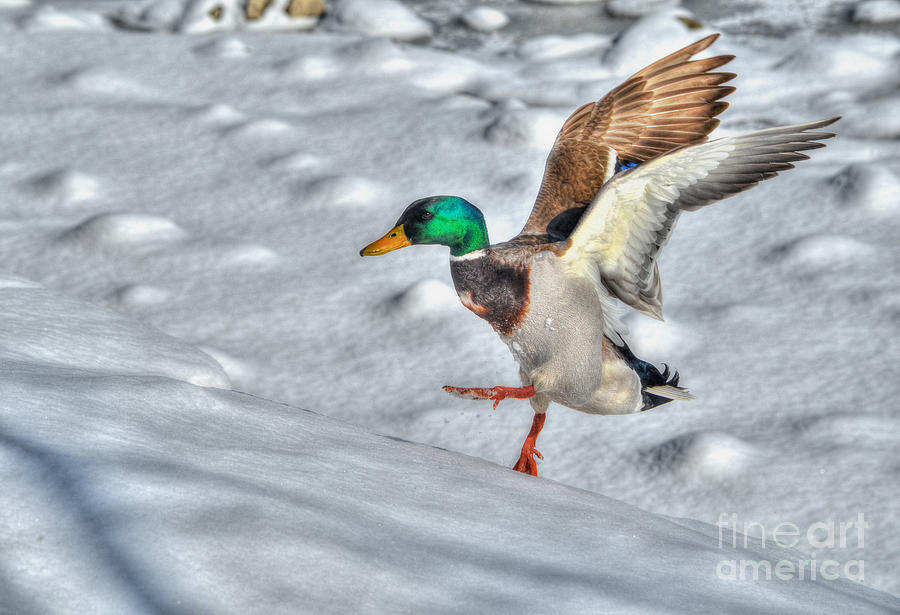 Duck Photograph - I Know I Can Make It by Skye Ryan-Evans