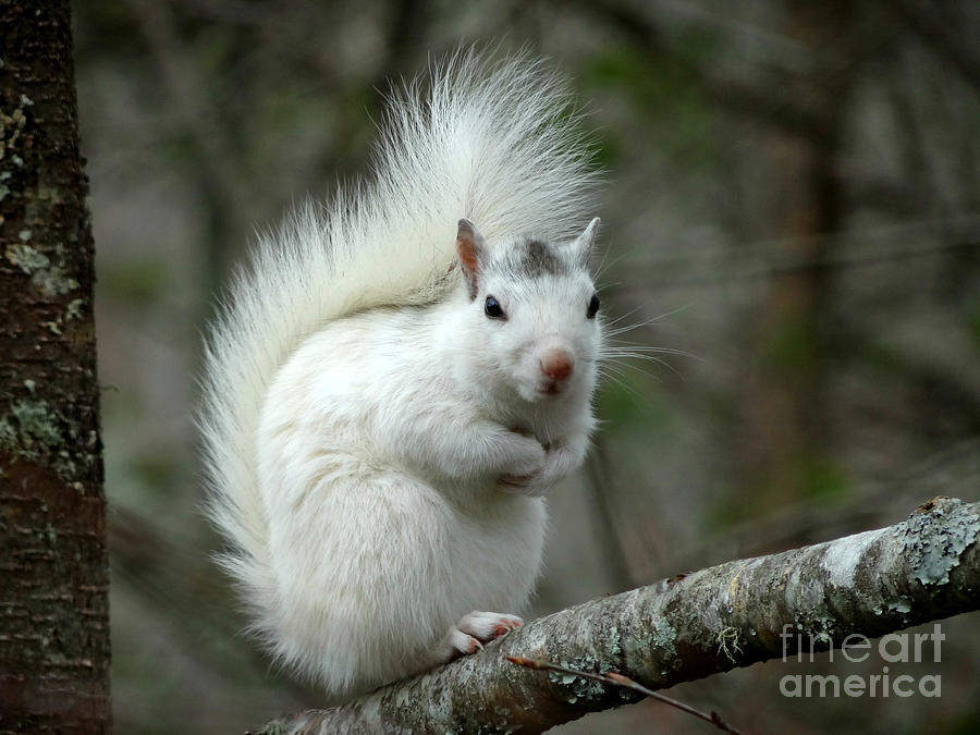 White Squirrel Photograph - I Know Im Cute by Crystal Joy Photography