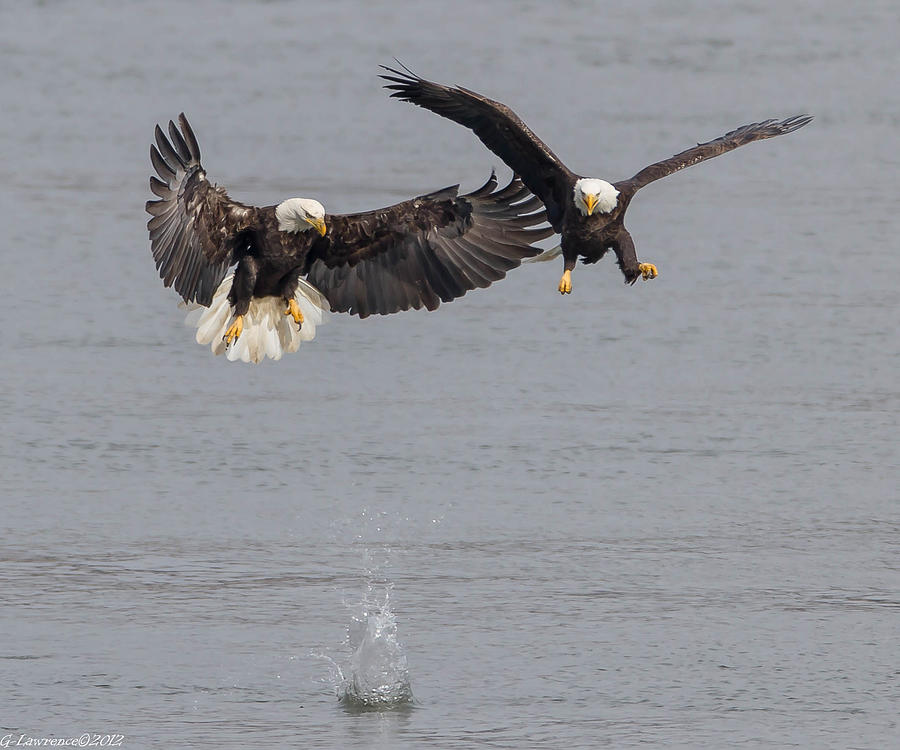 American Bald Eagles Photograph - I Lost My Fish  by Glenn Lawrence