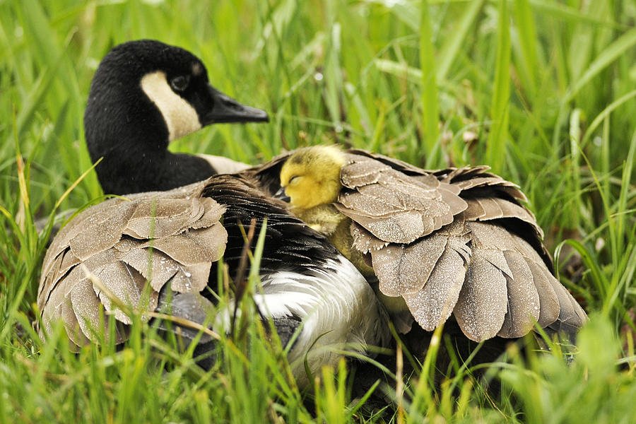 Geese Photograph - I Love My Mom by Kenneth Haley