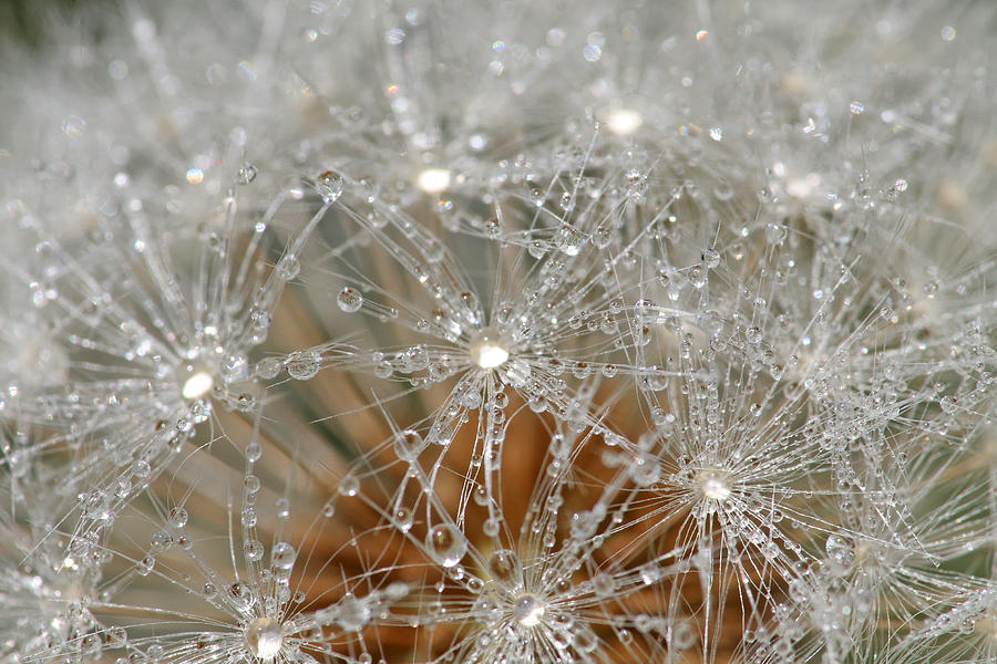 Dandelion Photograph - I Mightve Gone To Seed But I Still Know How To Party by Peggy Collins