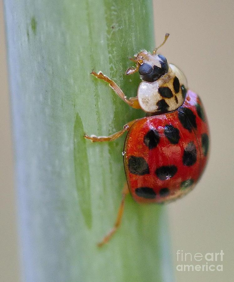 I Say Lady Bug Orange with Black Dots by Wayne Nielsen