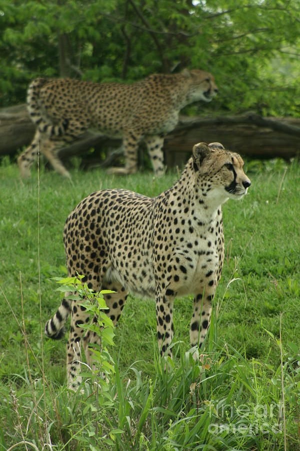 Cheetah Photograph - I See Dinner by Crystal Nederman