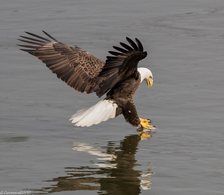 American Bald Eagles Photograph - I See Fish  by Glenn Lawrence