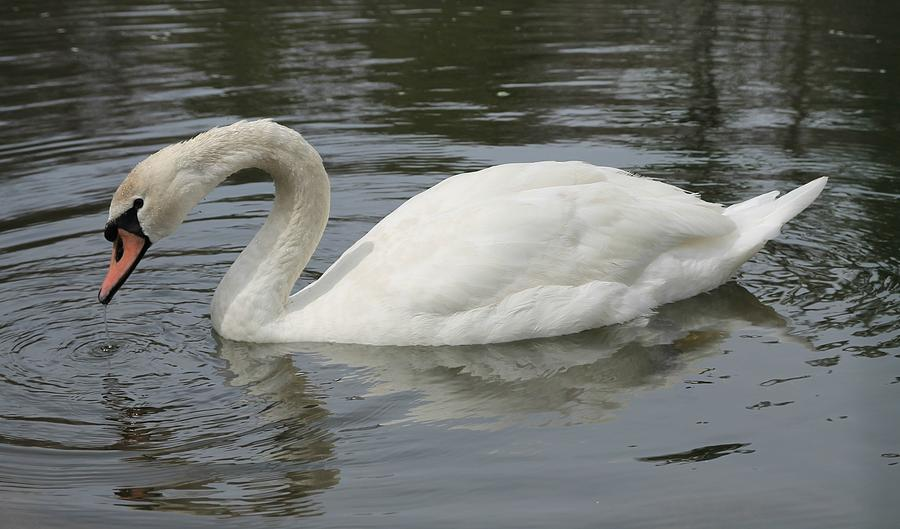 Swan Photograph - I See Something by Lisa Hurylovich