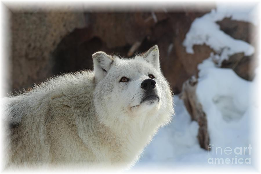 Wolves Photograph - I See You by Brenda Henley