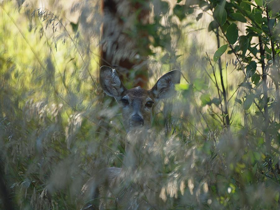 Deer Photograph - I See You - Do You See Me?  by HW Kateley