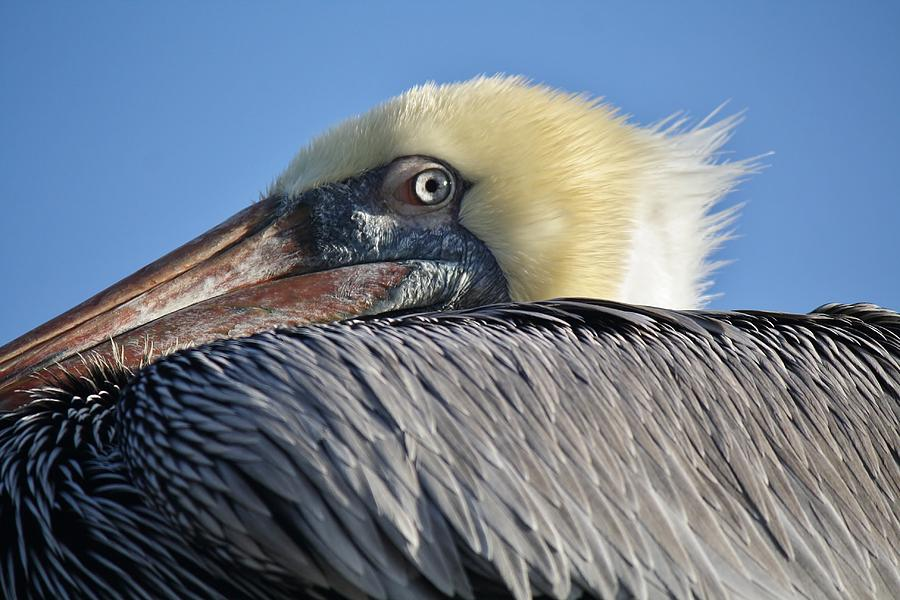 Brown Pelican Photograph - I See You by Paulette Thomas