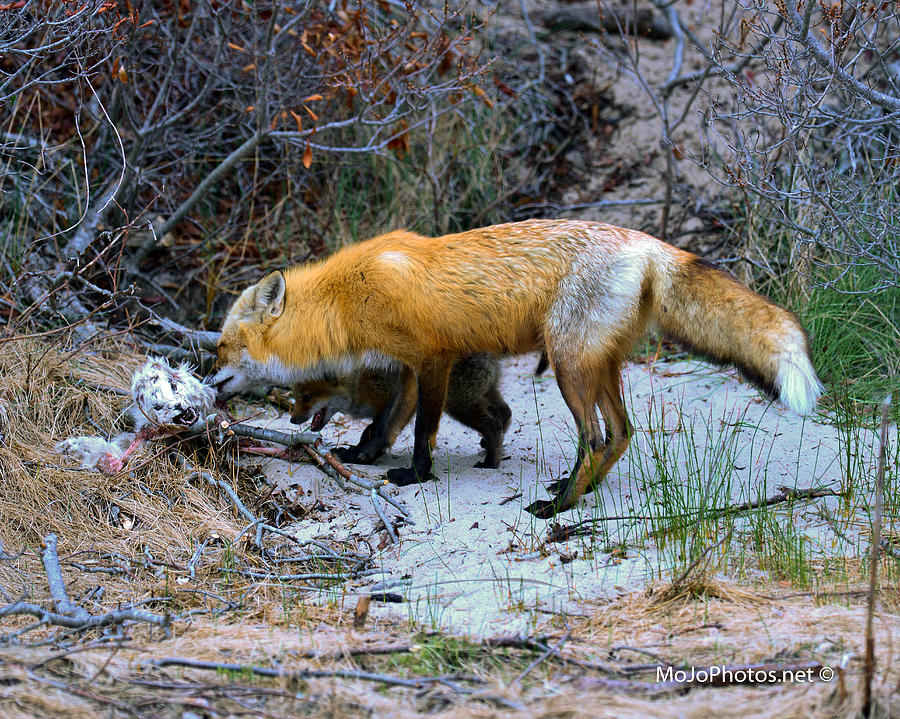 Redfox Photograph - I Want Some by MoJophotos Photography