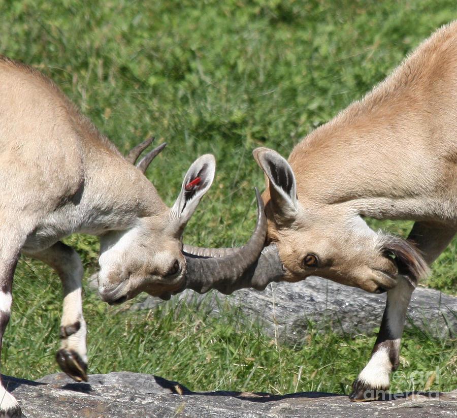Telfer Photograph - Ibex Doing Battle by John Telfer