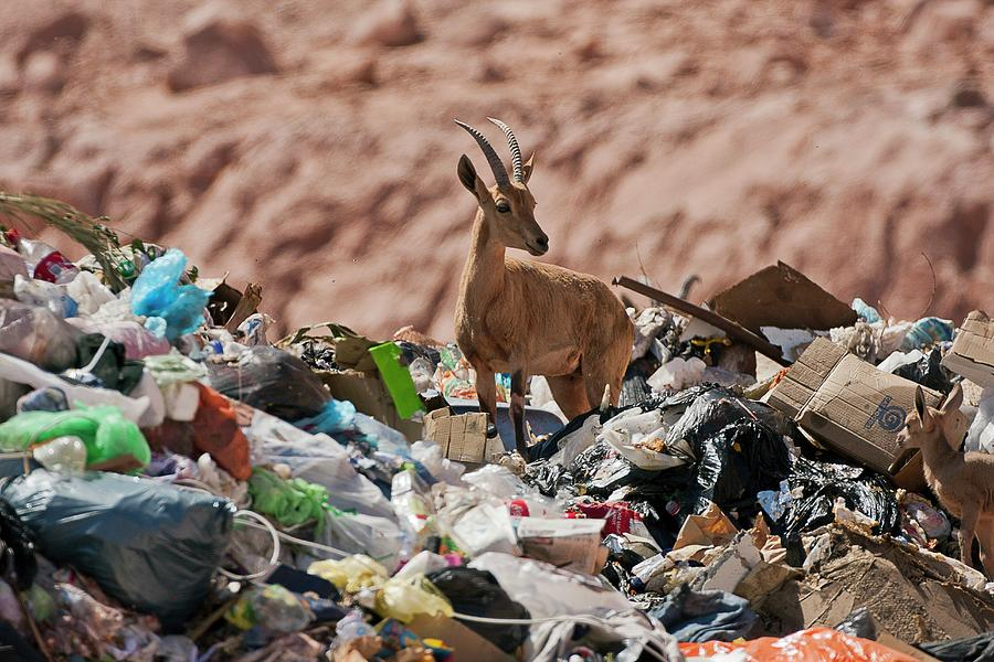 Animal Photograph - Ibex In City Dump by Photostock-israel