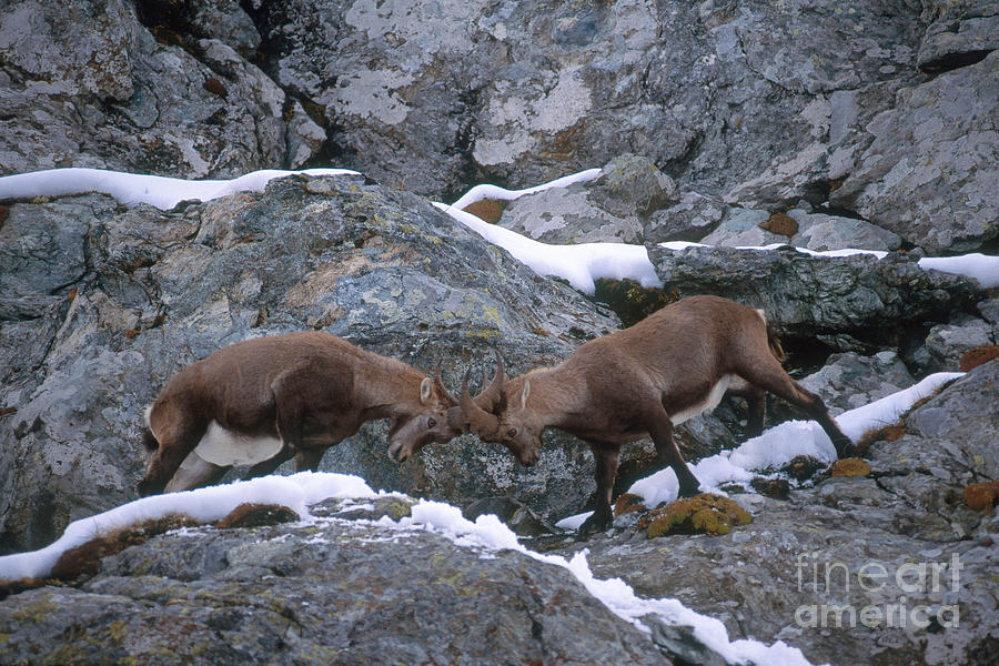 Ibex Photograph - Ibexes Sparring by Art Wolfe