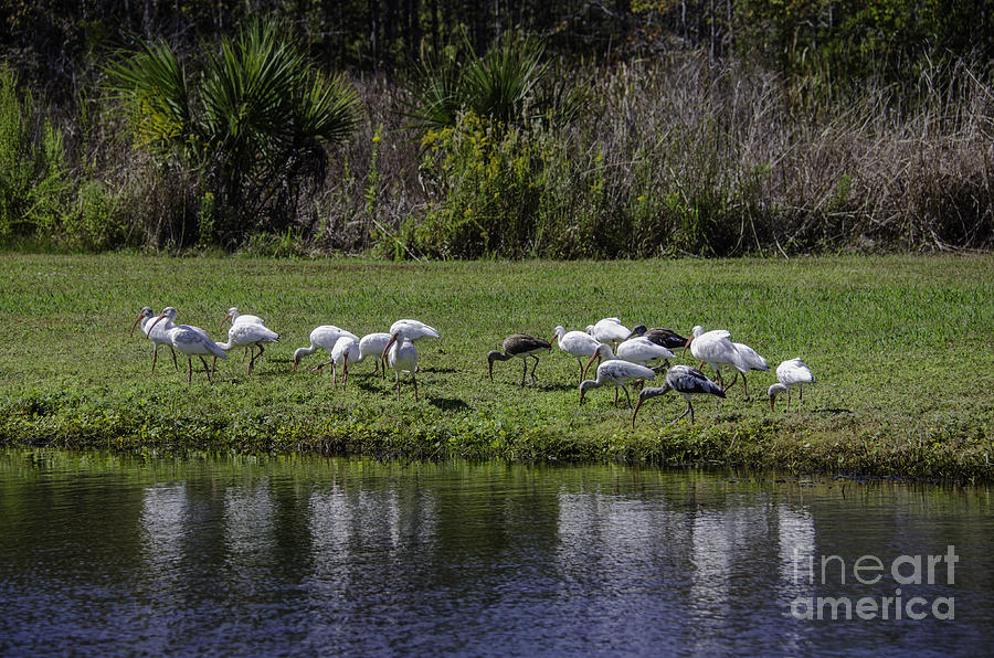Ibis Birds By Pond Photograph