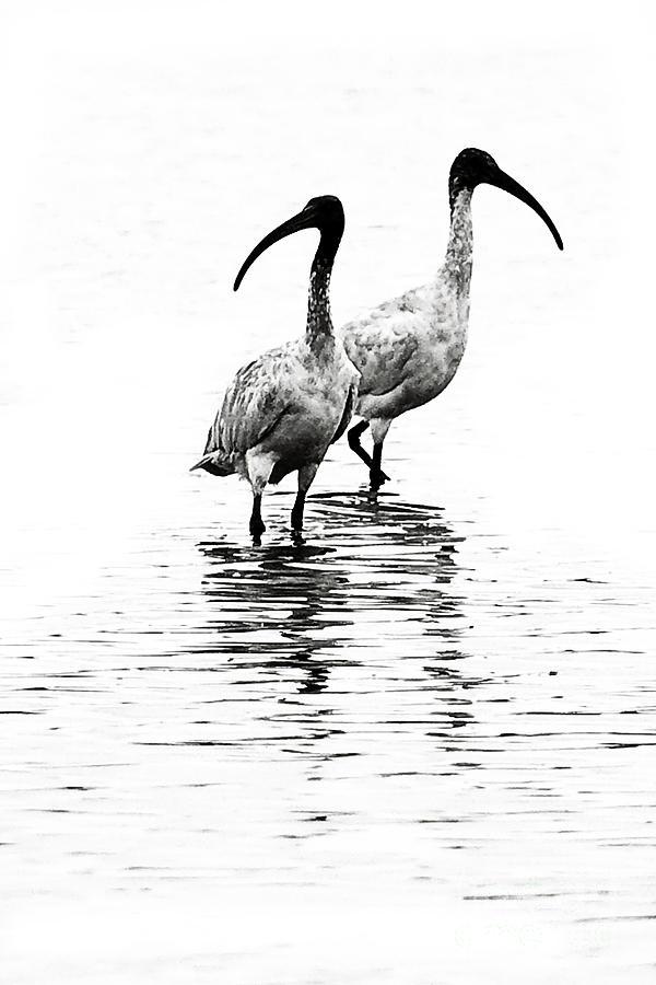 Australian Birds Photograph - Ibis by David Benson