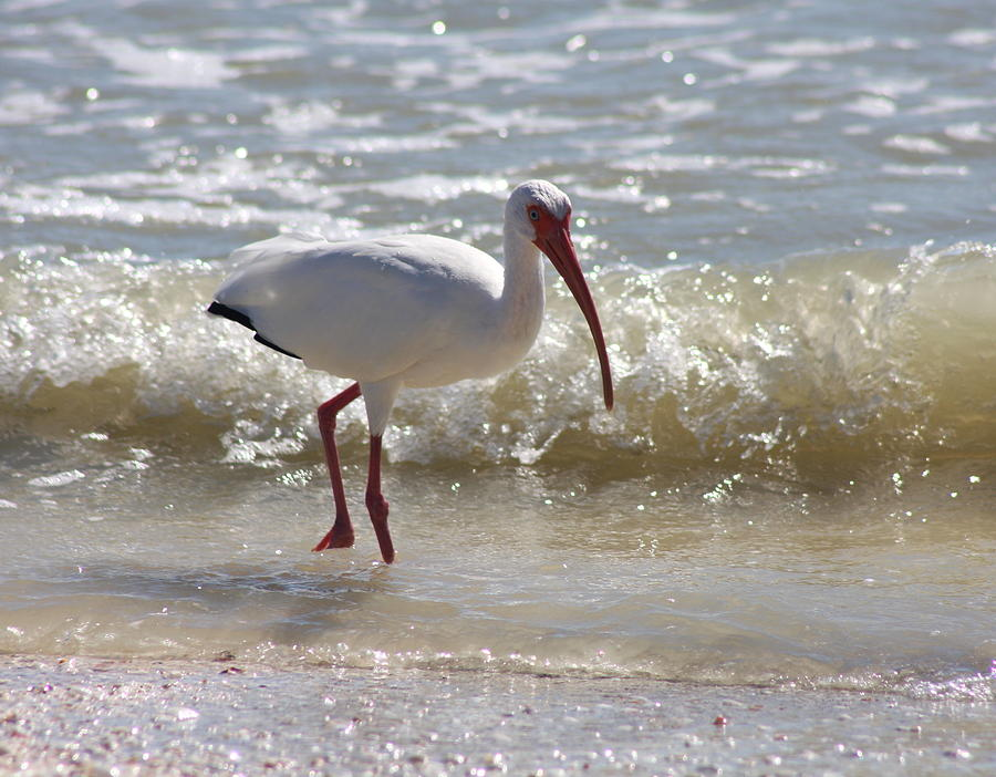 Ibis Photograph - Ibis Walking The Beach by Christiane Schulze Art And Photography