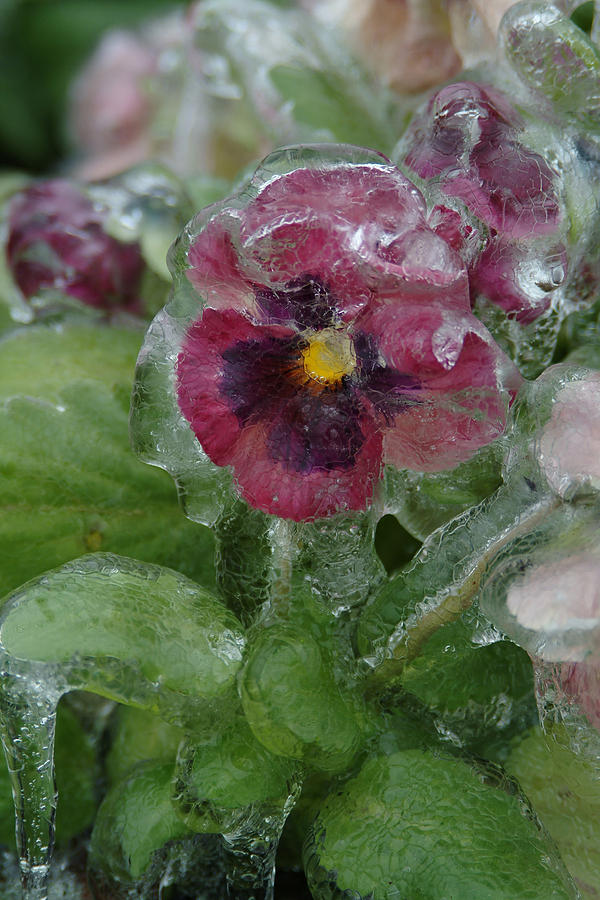 Flower Photograph - Iced Purple Pansy by Wesley Elsberry