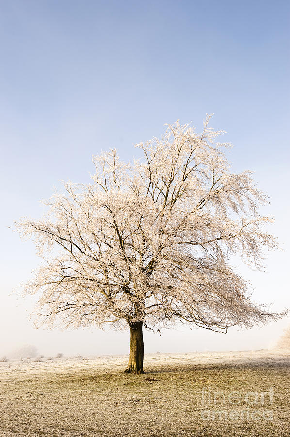 Bare Photograph - Iced Tree by Anne Gilbert