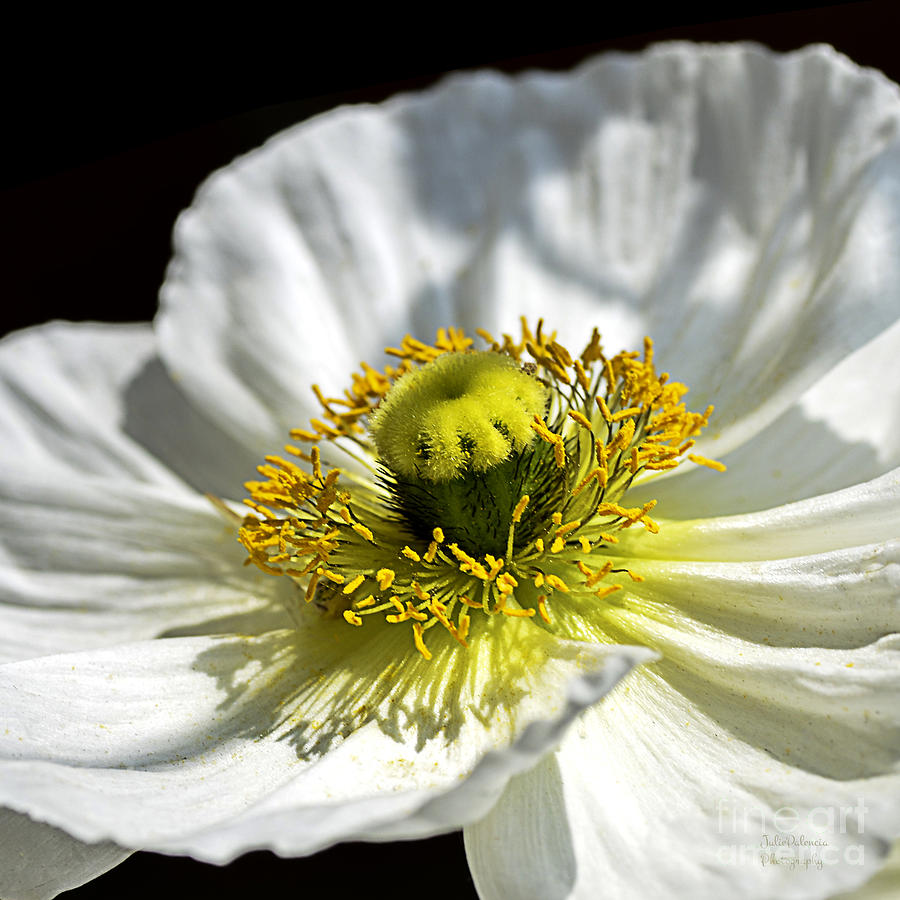Flower Photograph - Iceland White Poppy by Julie Palencia