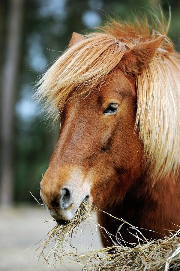 Animal Photograph - Icelandic Horse by Bildagentur-online/mcphoto-schulz