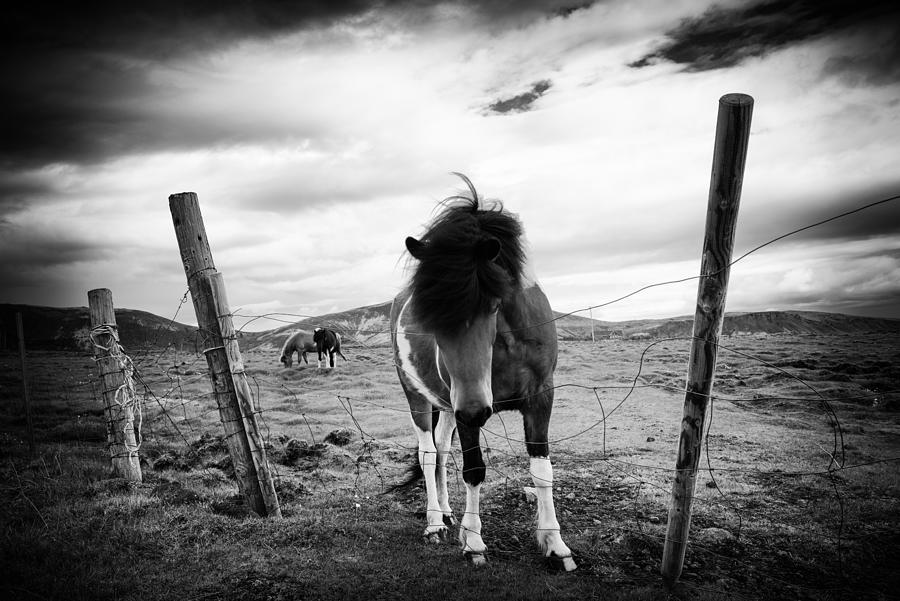 Iceland photograph icelandic horse in iceland black and white by matthias hauser