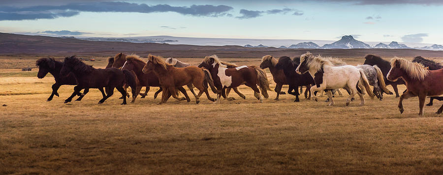 Icelandic Horses Galloping Over The Photograph by Coolbiere Photograph