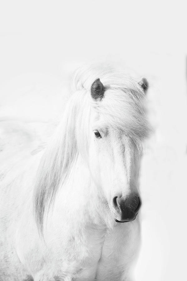 Icelandic Pony In White Photograph by Grant Faint