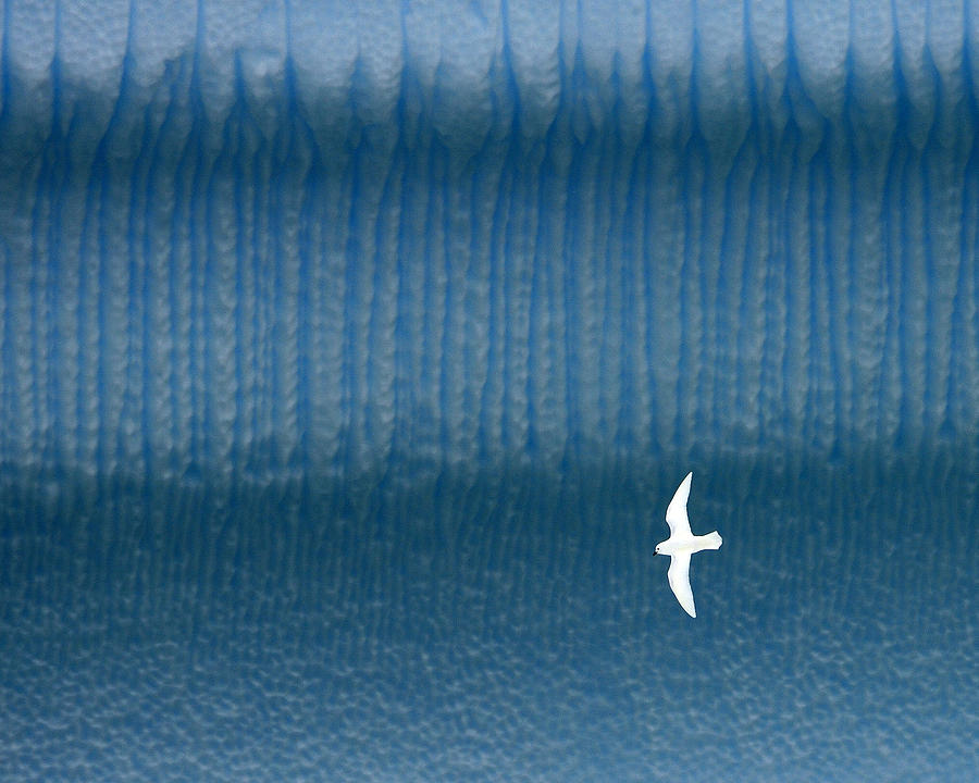 Snow Petrel Photograph - Icy Angel by Tony Beck