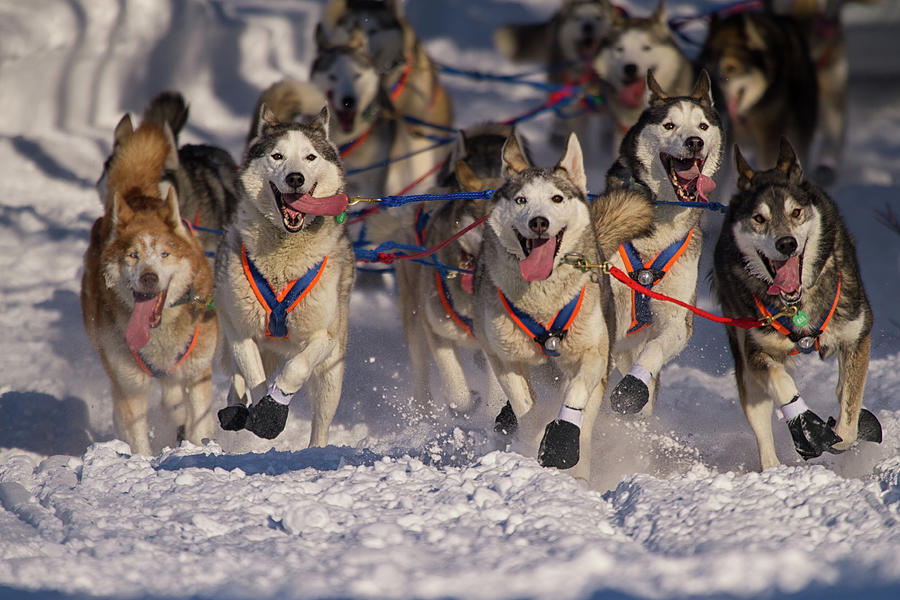 Iditarod Huskies Photograph by Alaska Photography