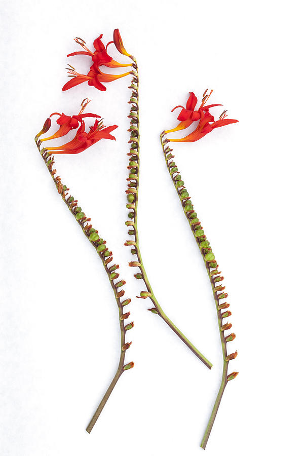 Crocosmia Photograph - If Seahorses Were Flowers by Carol Leigh